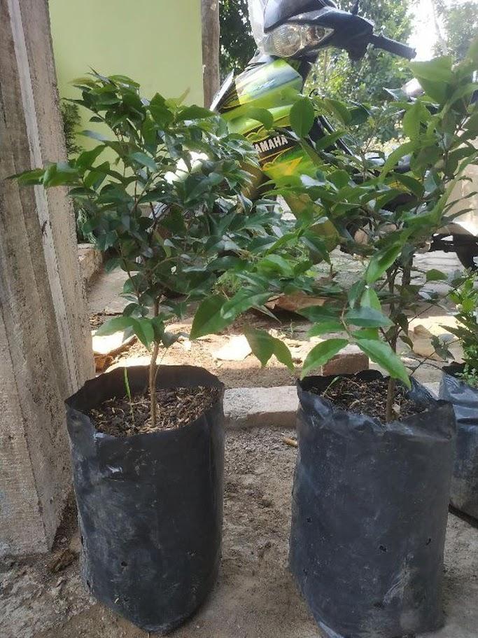 Pohon Anggur Brazil Preco VALID Binjai