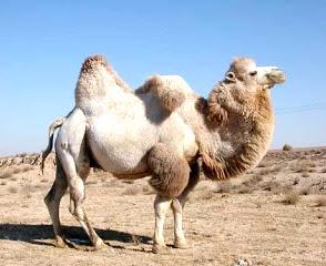 Foto de un camello blanco con una joroba caída