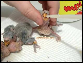 cara meloloh anakan lovebird agar tidak tersedak