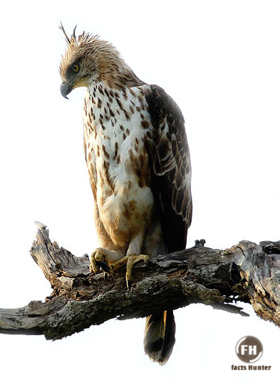 Javan Hawk Eagles are medium-sized eagles that are endemic to the island of  Java in Indonesia. They are currently Endangered bef5dd8f8f