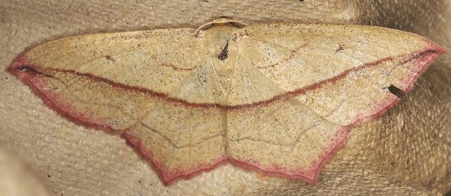 Blood-vein, Timandra comae.  Sevenoaks Wildlife Reserve, 26 August 2017.