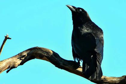10 Fakta Menakjubkan Burung Jalak yang Harus Kamu Ketahui