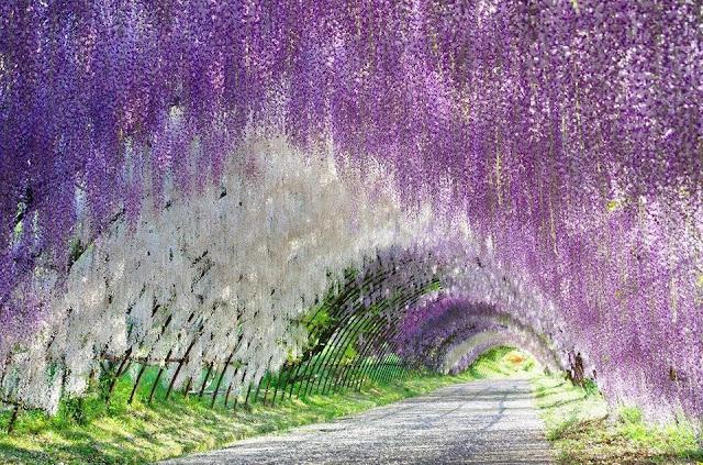 terowongan wisteria jepang