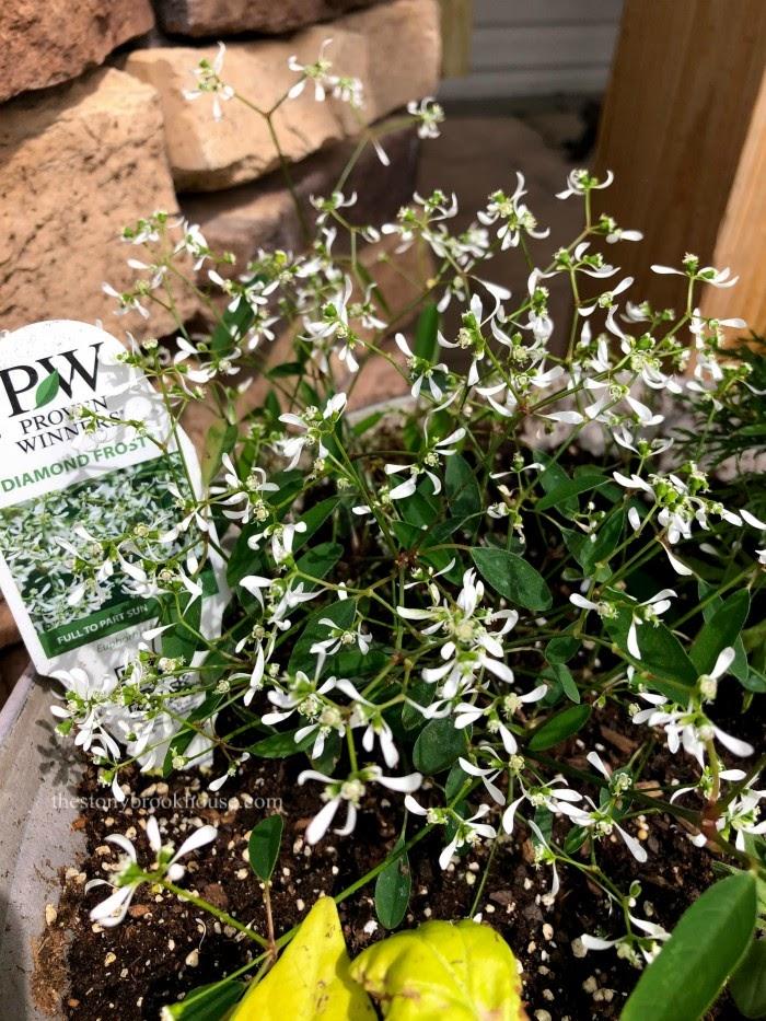 Diamond Frost Euphorbia