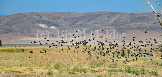 A Flock of Red Winged Blackbird