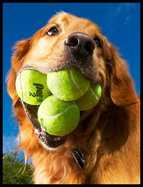 Adorable Golden Retriever believes that one ball is just not enough!