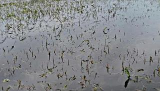 নাটোর বড়াইগ্রামে বৃষ্টির পানির নিচে কৃষকের পাঁকা ধান