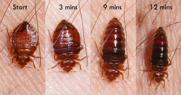 Other Insects, Such As Carpet Beetles, Can Be Easily Mistaken For Bed Bugs.  If You Misidentify A Bed Bug Infestation ...