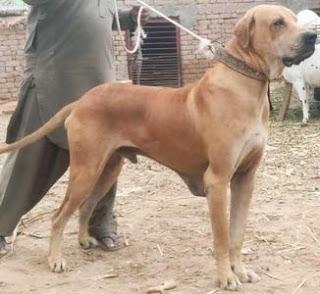 Indian Mastiff Dog
