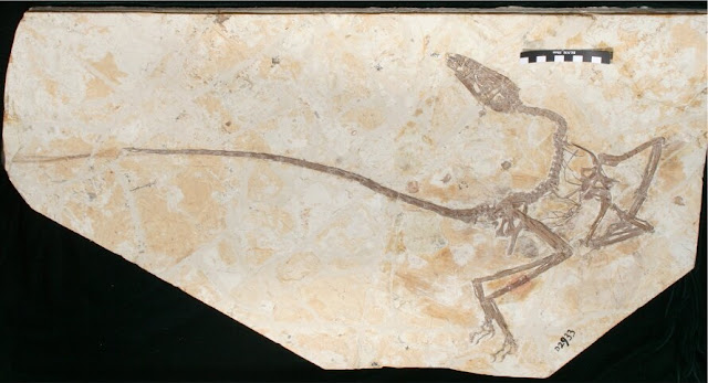 New dinosaur discovered in China shows dinosaurs grew up differently from birds