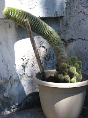 Drooping cactus in a pot by garden muses: a Toronto gardening blog