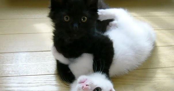Warna Bulu Hitam Pada Kucing Dikendalikan Biologi Gonzaga