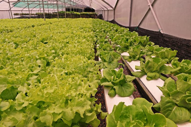 Hydroponic Vegetable Culture In Greenhouse Water Evaporation