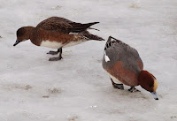 Eurasian wigeons on ice - photo by Frode Inge Helland, Apr. 2010