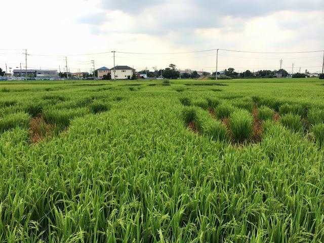 こしがや田んぼアート2014南越谷阿波踊り(8/24)