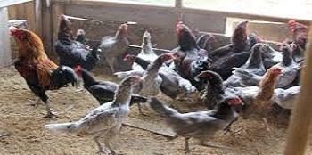 Analisa Modal Dalam Memulai Usaha Ternak Ayam Kampung