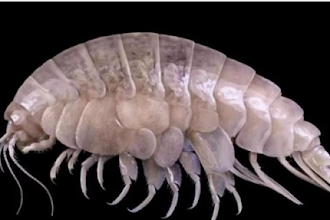 Espécie descoberta no lugar mais fundo da Terra tem plástico no estômago