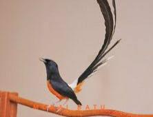 Suara Kicauan Burung Murai Batu Masteran mp3