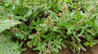 Những bài thuốc dân gian từ cây rau khúc