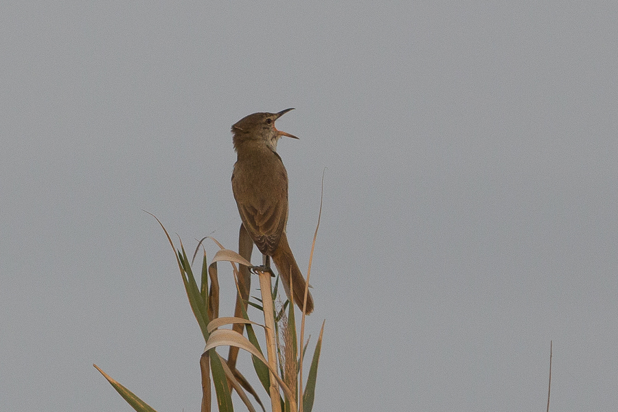 Indian (Clamorous) Reed Warbler