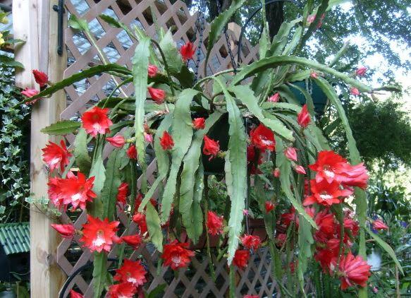 Epiphyllum Disocactus Ackermannii Indoor House