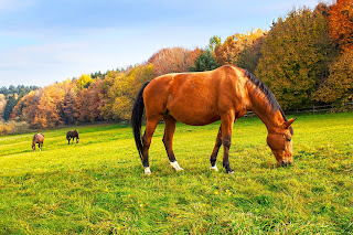 Three Bay horse grazing in a field with trees in the background
