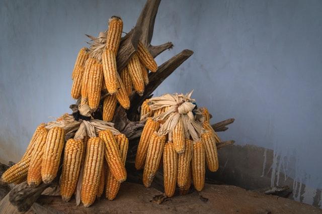 cara menanam jagung bisi