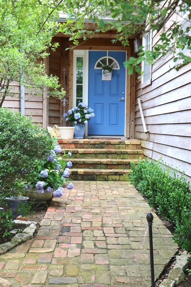 Summer Courtyard Garden with Blue Hydrangeas and boxwood shrubs along antique Chicago brick sidewalk