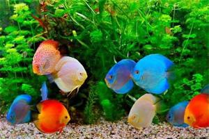 ikan hias discus, gambar ikan hias discus