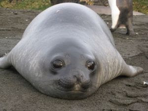 Cute Baby Seals Wallpapers Latest Funny Pictures Baby Elephant Seals