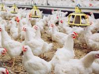 Yuk Simak, Keuntungan Memakai Inseminasi Buatan Pada Ayam Kampung