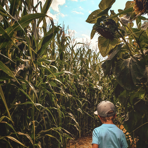 Lethbridge Corn Maze Alberta