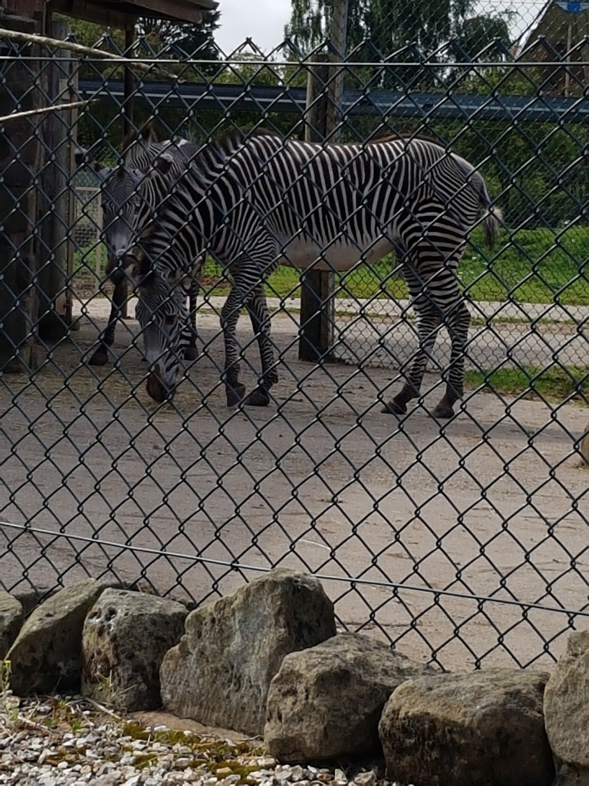 Two zebras behind a wire fence