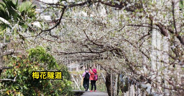 台中新社|2019梅花隧道|小木屋鮭魚葡萄|走進隧道賞梅花拍美照