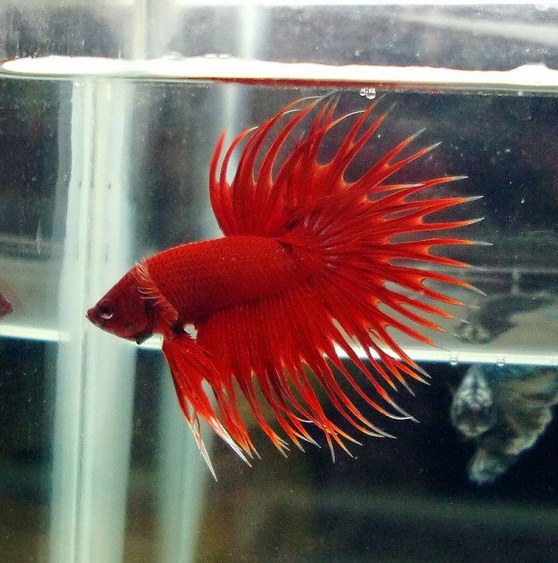 Image Red Betta Fish
