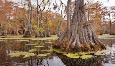 Inilah Pohon Tertua Di Muka Bumi, Berumur 2.624 Tahun