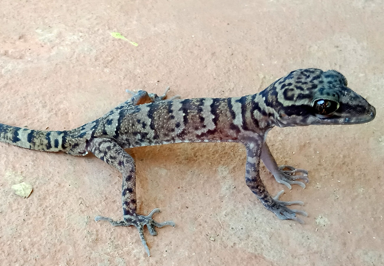 Cyrtodactylus muangfuangensis
