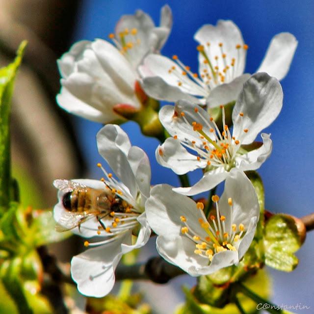 Semne de primãvarã - o albinuță la cules în florile de măr - blog FOTO-IDEEA