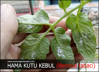 Kutu kebul (Bemisia tabaci) hama penting dalam tanaman budidaya