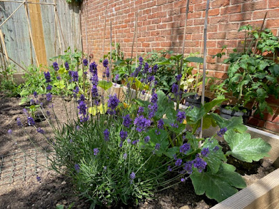 Vegetable patch in garden with lavender