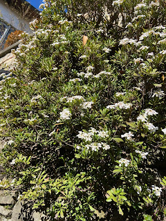 Iberis sempervirens - Evergreen Candytuft – via Sudorno, Bergamo.