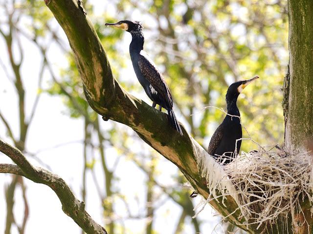 Zwei Kormorane und ihr Nest