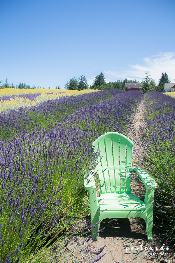 lavender field in Sequim, Washington