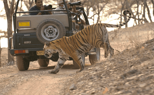 ranthambhore national park, ranthambhore package, tour package, hotel booking, resort booking, aksharonline.com, akshar infocom, akshar travel services, 8000999660, 9427703236, ranthambore national park resort booking, tour booking, jaipur-ranthambore package tour booking