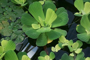 Free Floating Aquatic Plant: Water Cabbage