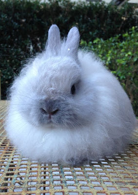 Jersey Wooly Rabbit personality