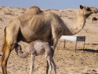 施舍的奇迹:一位女性骆驼帮助了丰富的商人