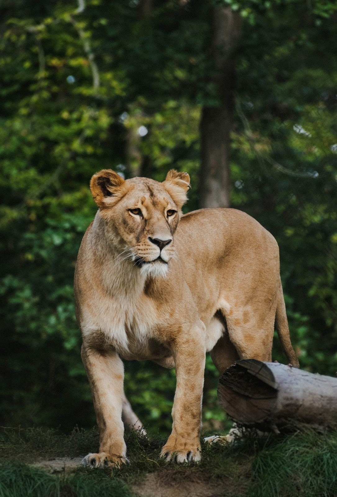 The lioness walking beside the tree,lion images