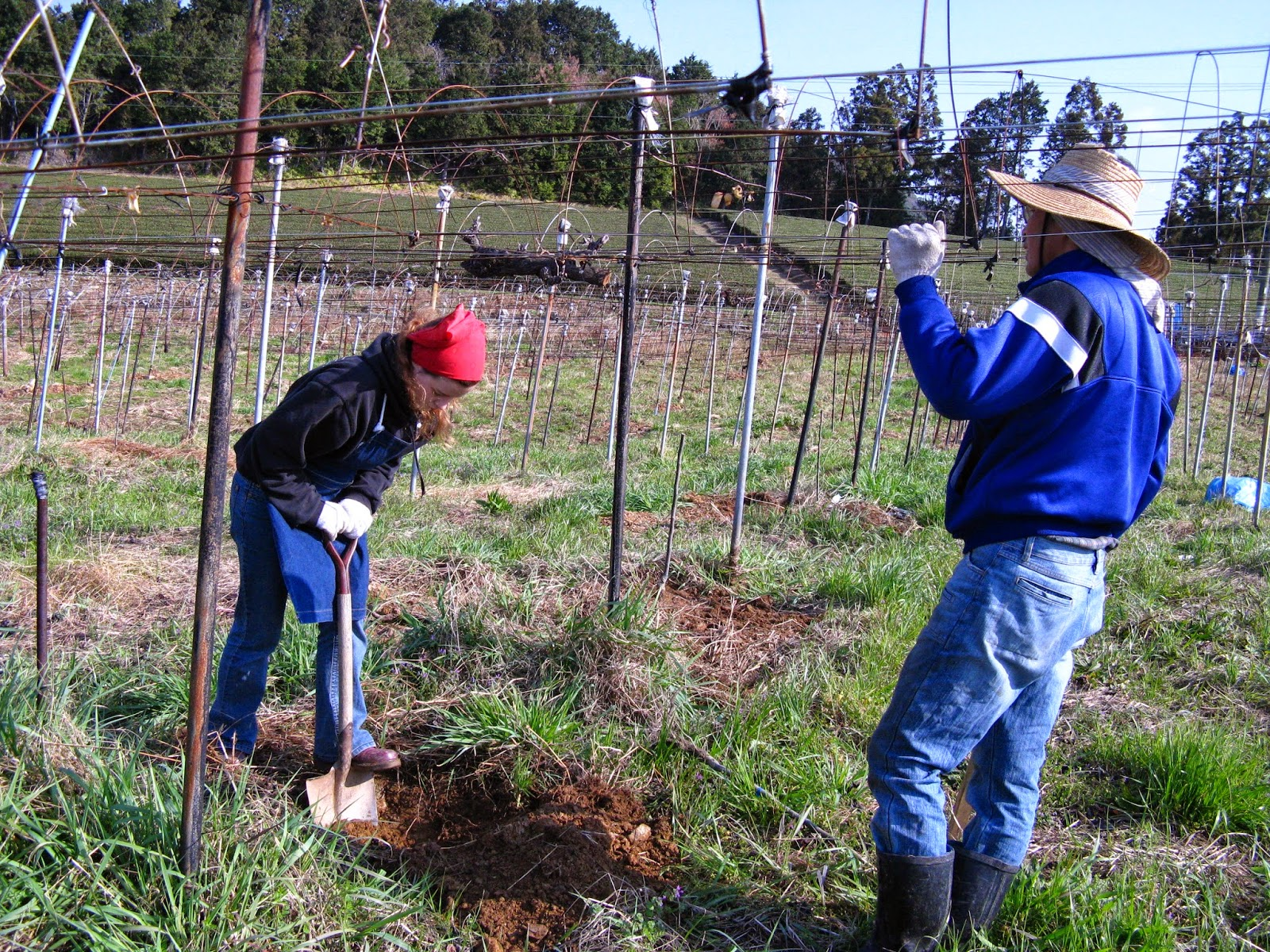 WWOOF Japan planting grape trees for wine