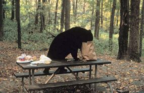 Visitors feeding bears forces closure of Signal Mountain Summit Road area